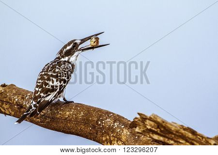 Specie Ceryle rudis family of Alcedinidae, pied kingfisher eating a prey on a dead branch, South Africa