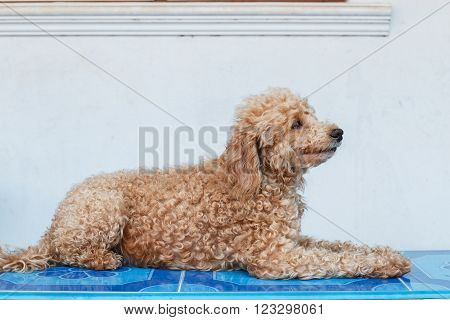 Dog poodle haired brown lying on the house.