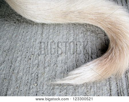white tail dog on floor,tail dog  background
