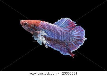 Betta fish isolated on black background, siamese fighting fish