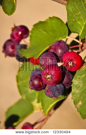 Saskatoon Berries Ripening In Summer