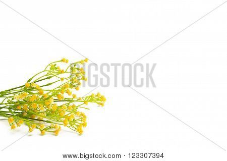 Yellow flowers isolated on white background. Wildflowers.