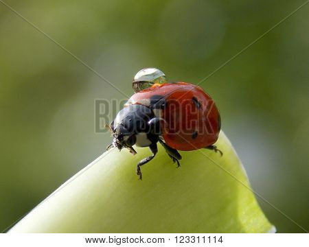 Ladybug with drops of rain on his back
