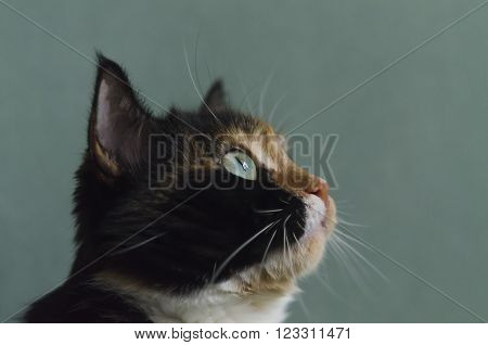 Tricolor cat with green eyes and white whiskers