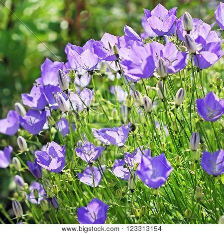 Hand bell Carpathian blue (Campanula carpatica) -- a species of plants from the sort Hand bell Kolokolchikovye's families ** Note: Shallow depth of field