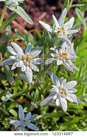 Edelweiss Alpine leontopodium (Leontopodium) - genus of dicotyledonous herbaceous plants of the family Asteraceae  or Compositae