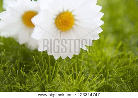 Spring Meadow With Daisies Or Chamomile In Grass