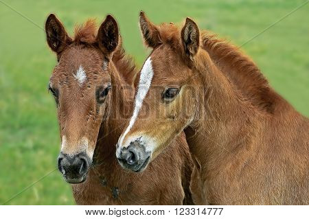 two sad young stallion in a green meadow