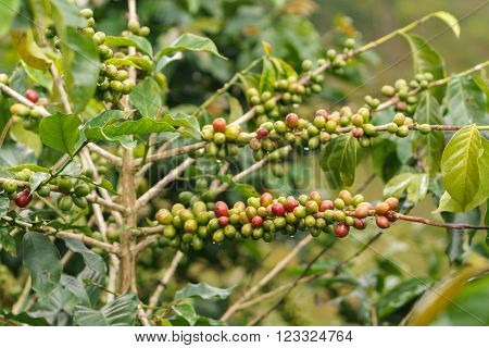 Fresh coffee beans on branch of coffee tree