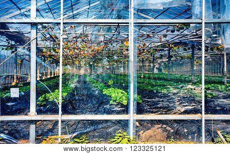NIKKO, JAPAN - OCTOBER 26, 2012: Greenhouse at vineyard near Nikko town, Tochigi Prefecture, Japan. View through plastic film.