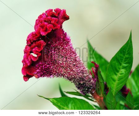 Photo with a side of a cultivated flower of Celosia argentea f. cristata