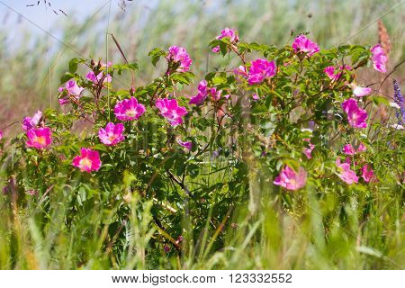 Wild Rose On Coastal Meadows