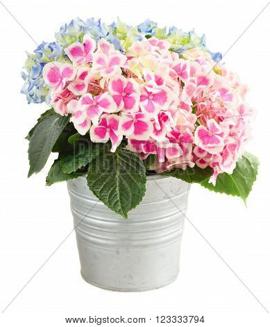 bunch of pink and blue hortensia flowers in metal pot isolated on white background