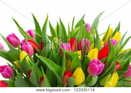 fresh yellow, purple and red  tulips with green leaves close up isolated on white background