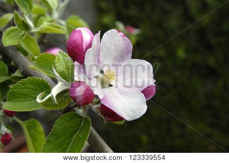 Apple tree spring blossom variety Sandringham dessert malus domestica in a UK garden.