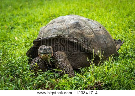 Galapagos giant tortoise eating grass in field