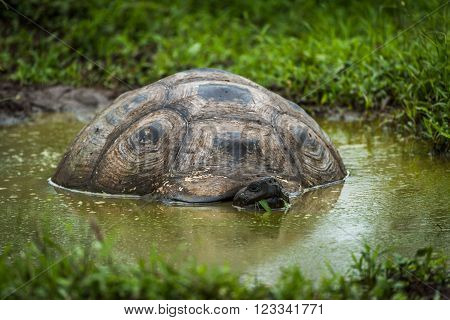 Galapagos giant tortoise wallowing in muddy pool