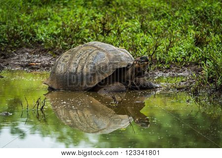 Galapagos giant tortoise reflected in shallow pond