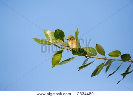 A tiny olive toned bird called the Cape white-eye sitting on a branch with many leaves. Blue sky background.