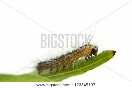 Caterpillar Crawling On Leaf Edge