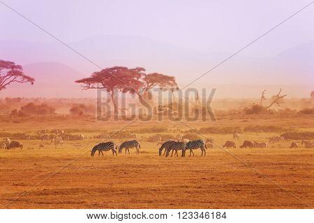 Pasturing herd of zebras at the Kenyan safari park, Amboseli