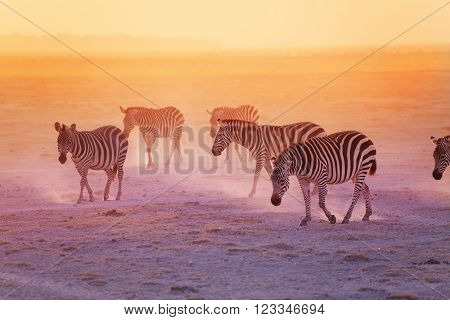 Group of zebras walking in the Amboseli National Park at the sunset