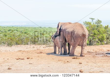 An African Elephant mother, Loxodonta africana, comforting her calf