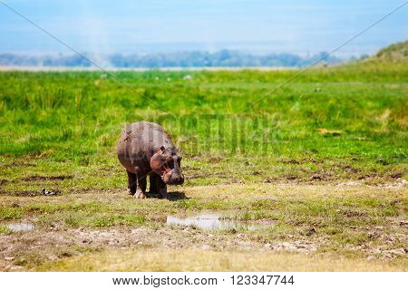 Hippos cub walking near the bog and eating green grass, National Park Masai Mara, Kenya