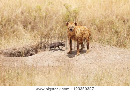 Female hyena standing with two little pups near their hole, Kenya, Africa