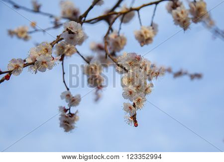 cherry tree, spring day, mart, blue sky