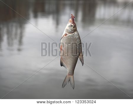 bream on fishing-rod on background of water