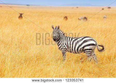 Zebra in the wilderness of Amboseli National Park, Kenya, Africa