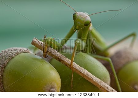 European mantis holding branch in its claws