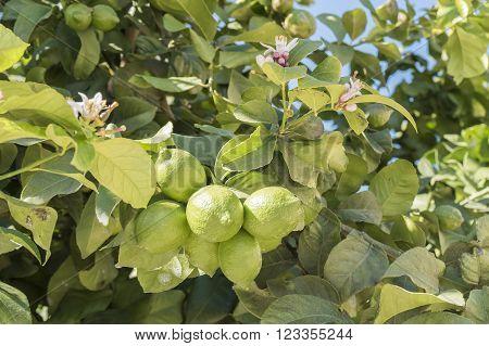 Unripe lemons on the tree, with azahar flower