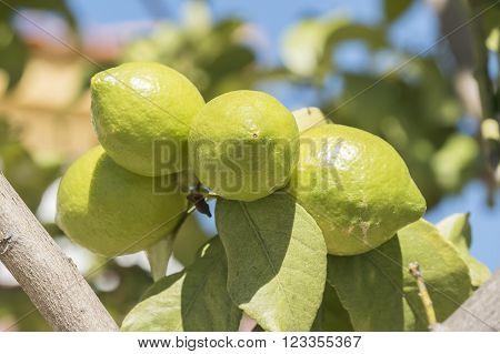 Unripe lemons on the tree under the sun