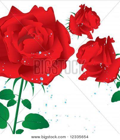 three red rozes