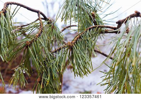 young pine on a branch with green needles of a pine cone close-up