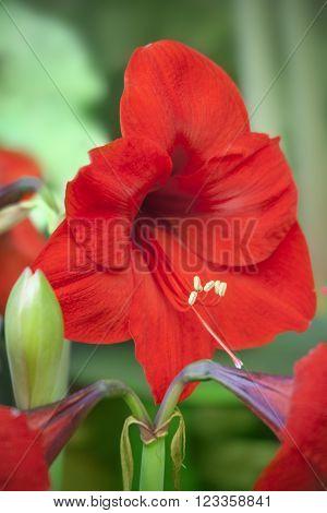 Beautiful macro red Amaryllis (Hippeastrum) in garden.