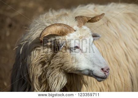 Ram Or Rammer, Male Of Sheep