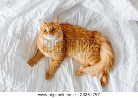 Ginger cat lies on bed. The fluffy pet comfortably settled to sleep or to play. Cute cozy background, morning bedtime at home. Funny fluffy pet with curious expression on it's face.