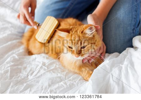 Woman combs a dozing cat's fur. Ginger cat's head lies on woman hand. The fluffy pet comfortably settled to sleep. Cute cozy background morning bedtime at home.