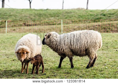Mother and father sheep and their lamb in a meadow in early spring sun
