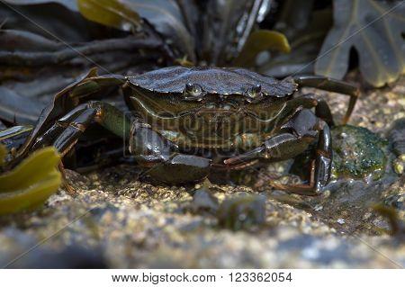 Green Shore Crab (Carcinus Maenus) on barnacle encrusted rock