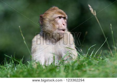 Surprised Barbary Macaque (Macaca Sylvanus) in long green grass