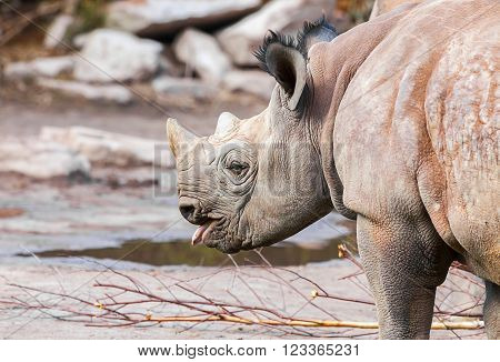 a young rhino protrudes his little tongue