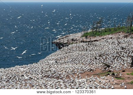 The largest colony of Northern Gannet is located on Ile Bonaventure, off the coast of Quebec.  This is one of many nesting grounds that dotted the island.