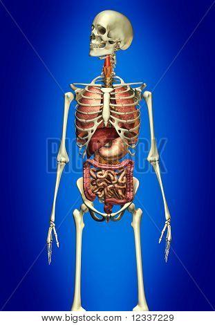 Male anatomy skeleton with internal organs