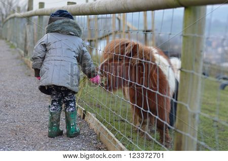 Young child feeding grass to a brown and white miniature Shetland pony. An infant girl offers food to a tiny horse, on a farm in Somerset, UK