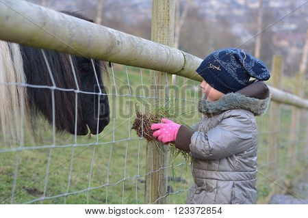 Young child feeding grass to a black and white miniature Shetland pony. An infant girl offers food to a tiny horse, on a farm in Somerset, UK
