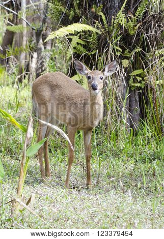 Deer pauses eating in Big Cypress National Preserve ** Note: Visible grain at 100%, best at smaller sizes